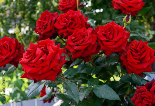 Foto  Large bush of red roses on a background of nature.