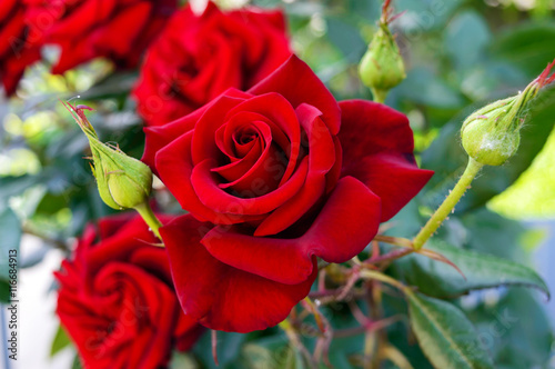 Photo  Large bush of red roses on a background of nature.