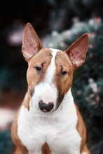 Red English Bull Terrier Dog