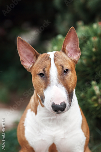 Tablou Canvas red english bull terrier dog