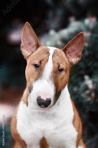 Fotografiet red english bull terrier dog