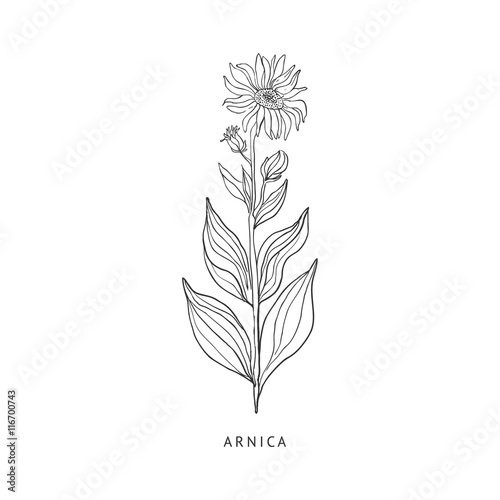 Photo Arnica Hand Drawn Realistic Sketch