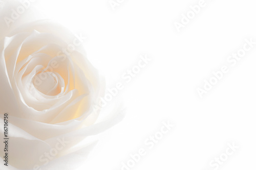 Canvas Prints Roses rose close up on background
