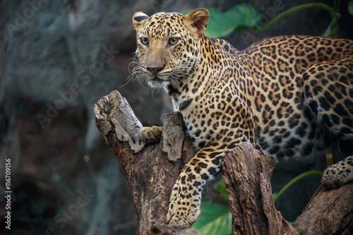 Deurstickers Luipaard Leopard on a branch.