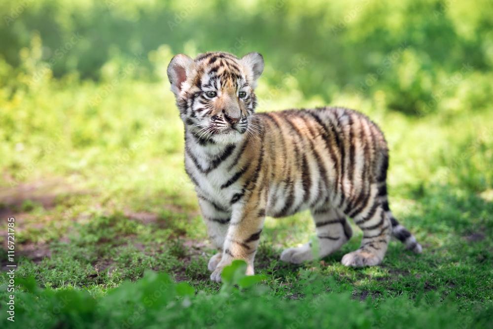 siberian tiger cub outdoors in summer