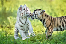 Two Adorable Tiger Cubs Being Affectionate