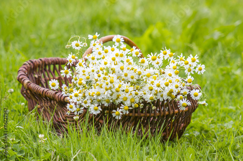 Basket with chamomile flowers on grass