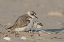 Reach Out To Mom, Kentish Plover