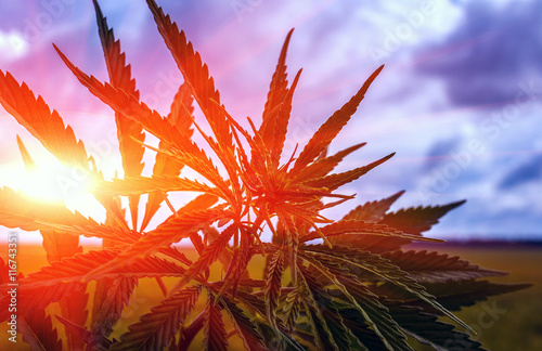 Photo marijuana bush on a background of sky at su
