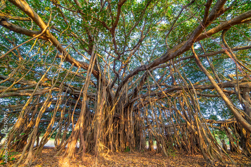 Papiers peints Arbre Tree of Life, Amazing Banyan Tree..