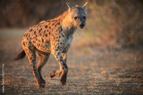 Tuinposter Hyena Hyena running in the Kruger National Park - South Africa