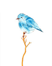 Blue Bird Watercolor Drawing Illustration Isolated On White Background.