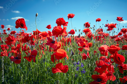 Spoed Foto op Canvas Poppy Poppy field flowers. Red poppies over blues sky background