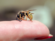 Insect Wasp On A Female Finger...