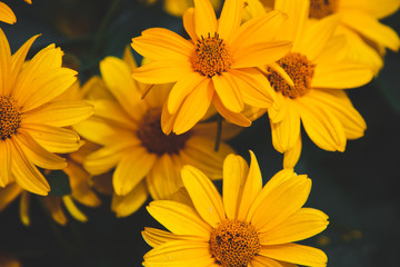 Bright yellow rudbeckia, beautiful flowers in the garden