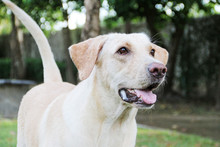 Hungry White Labrador Dog / White Saliva From White Labrador Dog When She Is Hungry