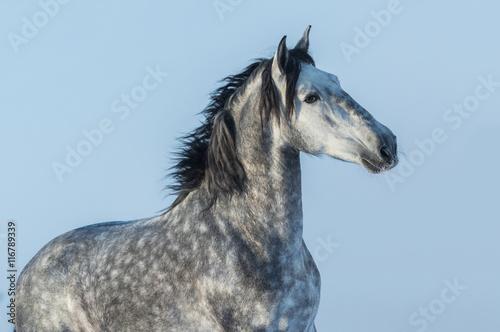 Fototapeta Gray Andalusian stallion. Portrait of Spanish horse. obraz na płótnie