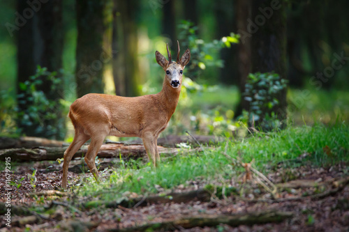 Photo sur Aluminium Roe roe deer buck