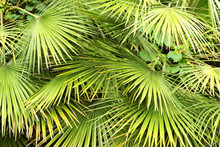 Dwarf Fan Palm (Chamaerops Hum...