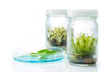 Sundew (Carnivorous Plant),Plant Tissue Culture In The Laborator