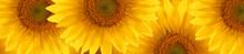Sunflower  Summertime