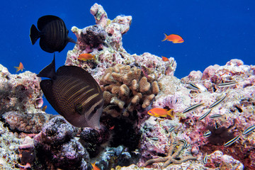Fototapeta na wymiar Maldives corals and Fish underwater panorama