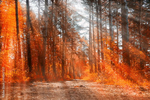 Foto op Canvas Rood paars Forest sunny autumn landscape -row of autumn yellowed trees under autumn sunlight.