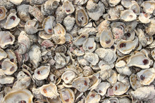 Abstract Background Oyster She...