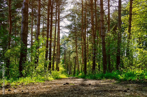 Cadres-photo bureau Marron chocolat Forest spring landscape - row of pine trees and narrow path lit by sunlight.