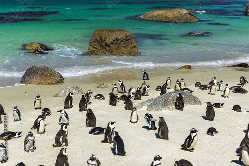 Foto op Canvas Zuid Afrika Republic of South Africa. Simon's Town near Cape Town, Foxy Beach. Boulders Penguin Colony - The Africans Penguins (Spheniscus demersus, also known as Jackass Penguin and Black-footed Penguin)