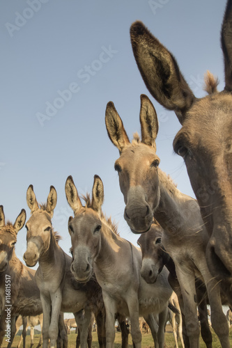 Herd of wild donkeys with funny faces