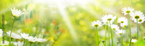 In de dag Madeliefjes Blumenwiese im Sommer - Panorama, Banner