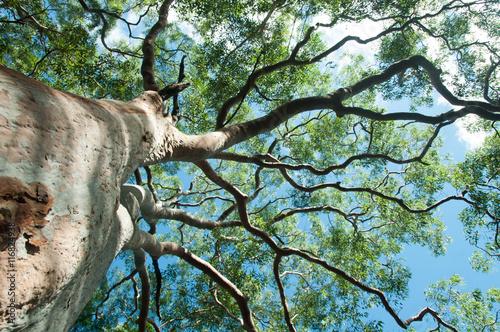 Fotografia  albero di eucaliptus