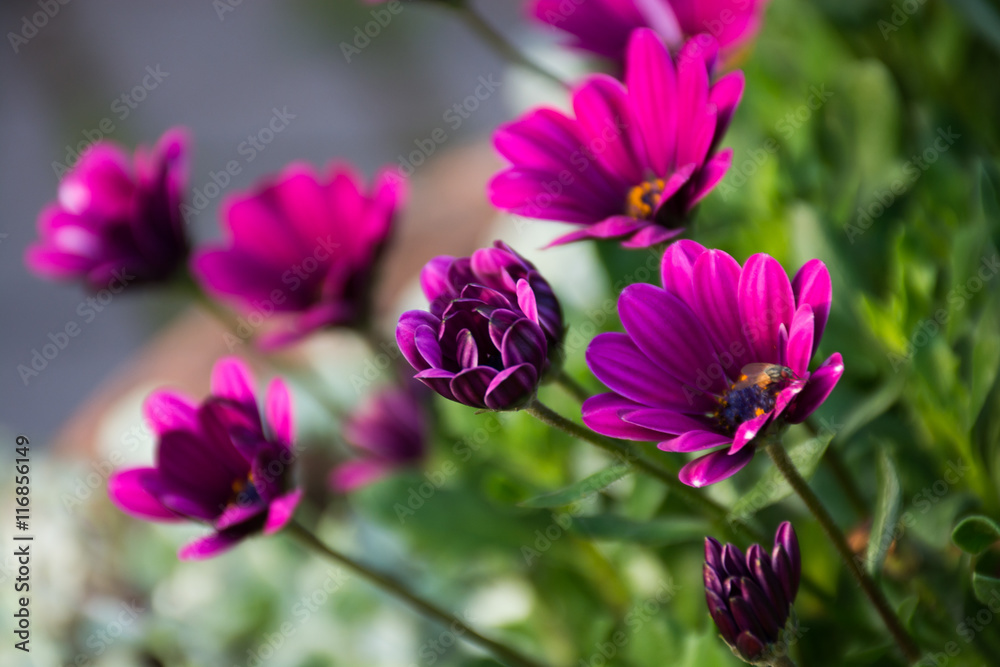 Fototapety, obrazy: Purple Flowers