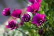 canvas print picture - Purple Flowers