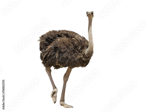 In de dag Struisvogel beautiful ostrich isolated