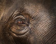 Close Up Asia Elephant Eye Selective Focus