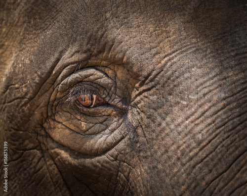 0755173a87c close up asia elephant eye selective focus - Buy this stock photo ...