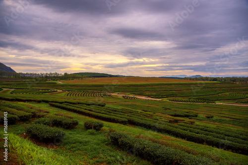 Foto op Aluminium Purper Beautiful sunrise landscape view in tea field