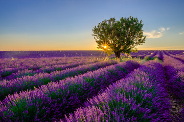 Fototapeta Krajobraz Tree in lavender field at sunset in Provence, France