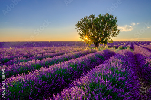 Tree in lavender field at sunset in Provence, France - 116890931