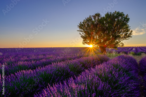 Foto op Plexiglas Panoramafoto s Tree in lavender field at sunset in Provence, France