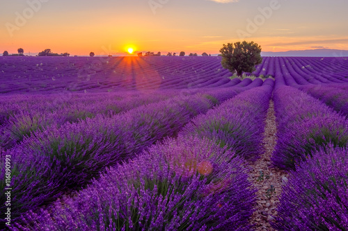 Fotobehang Violet Tree in lavender field at sunset in Provence, France