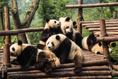 Foto op Canvas Panda Five panda cubs relaxing in panda kindergarten