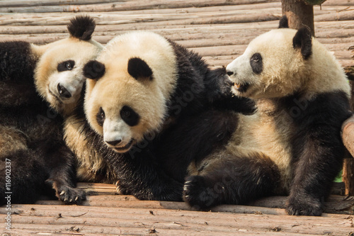 Photo  Three young pandas relax on a bamboo platform