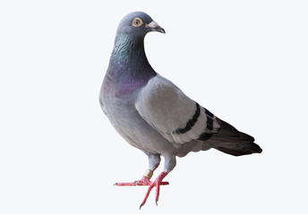 full body of speed flying racing pigeon isolated white backgroun