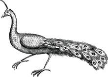 Vintage Illustration Peacock