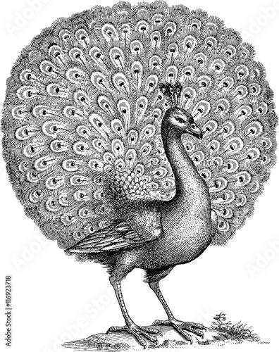 Fototapeta premium Vintage illustration peacock