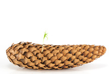 Spring Pine Tree Sprout Seed From Pinecone Isolated