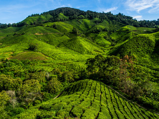 Fototapeta Herbata Tea Plantation on the mountain at Cameron Highlands, Malaysia